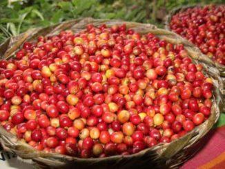 Café,ventas,exportaciones,Nicaragua,