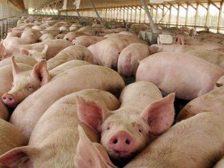 Cerdos de Nicaragua