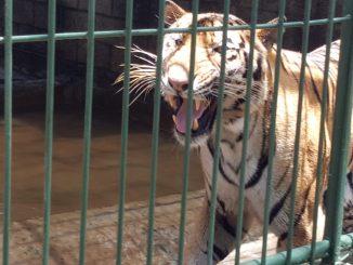 Tigre zoológico nacional