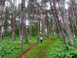 Pinares en Nicaragua